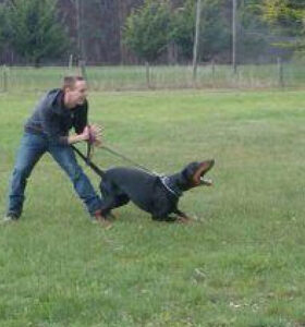 Dobermans are wonderful Companions, guard and working dogs.