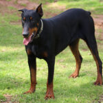 Doberman Male from Prada Doberman Breeder