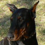 Tarsia Female Doberman