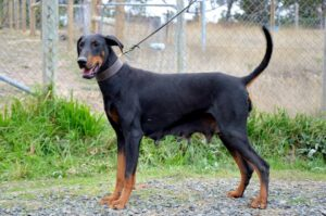 Female Doberman YENIE STANDING