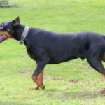 Byron Male Doberman